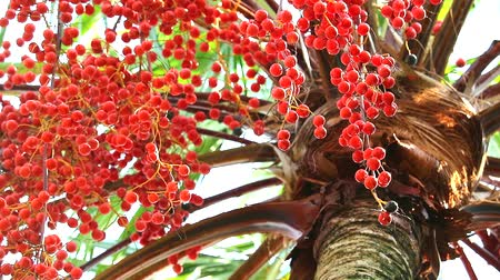 areca : red palm seeds growing around all tree in garden in rain season