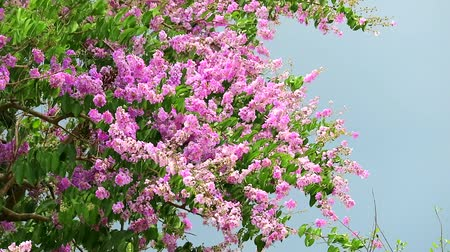 jardim formal : Lagerstroemia speciosa pink white flower and heavy wind in rain season storm sky