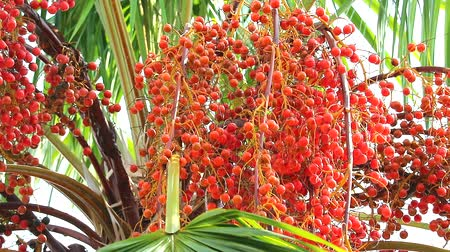 crescido : red palm seeds growing on tree in garden in rain season1