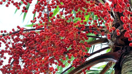 betel : red palm seeds growing all tree in garden in rain season