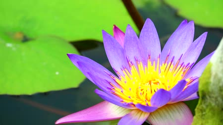 leknín : lotus has purple pink color of petals and green pad blooming in pond