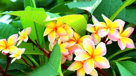 tropy : Plumeria pink white yellow flower blooming in garden rain drop on leaves