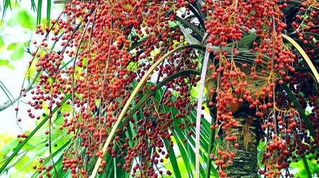 areca : red palm seeds growing on tree in the garden in rain season