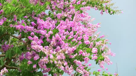 kraliçe : slow motion Lagerstroemia speciosa pink white flower and heavy wind in rain season storm sky Stok Video