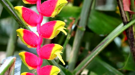 homar : Heliconia may call wild plantain or bird of paradise is multi color bracts2