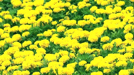 yellow flowers : Marigold flowers are blooming full of fields during rainy season