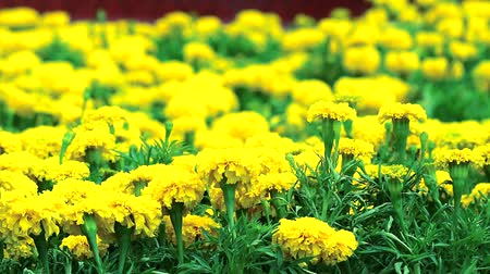 marigolds : Marigold flowers are blooming full of fields during the rainy season