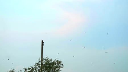 emaranhado : The swallows fly in the sky to feed insects in the evening