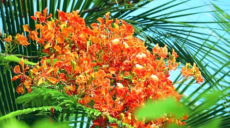 barbados : Red Caesalpinia pulcherrima flowers are blooming and palm leaves background Stock Footage