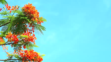 peacock : Red Caesalpinia pulcherrima flowers are blooming during rainy season blue sky background