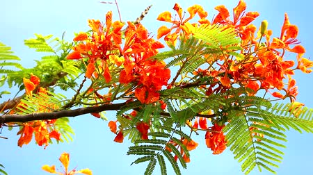 barbados : Red Caesalpinia pulcherrima flowers are blooming during rainy season