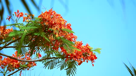 птицы : Red Caesalpinia pulcherrima flowers are blooming during rainy season blur leaves