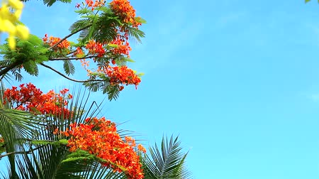 barbados : Red Caesalpinia pulcherrima flowers are blooming in blue sky background