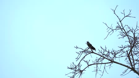 starling : Common Myna are standing on dry branch trees and other bird flying to them
