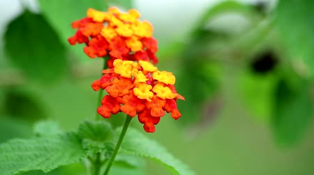 yara : Lantana camara L benefit The leaves have hemostatic properties and help to heal fresh wounds Stok Video
