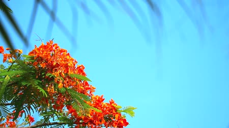 tavuskuşu : Red Caesalpinia pulcherrima flowers are blooming and blur palm leaves blue sky background