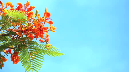 barbados : Red Caesalpinia pulcherrima flowers are blooming during rainy season in blue sky Stock Footage