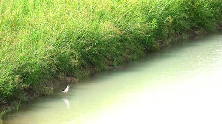 noga : Black-winged Stilt bird stand on water and singing in pond1