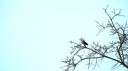 szpak : Common Myna are standing on dry branch trees