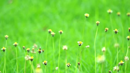 compositae : grass flowers swing by wind and green leaves background in garden Stock Footage