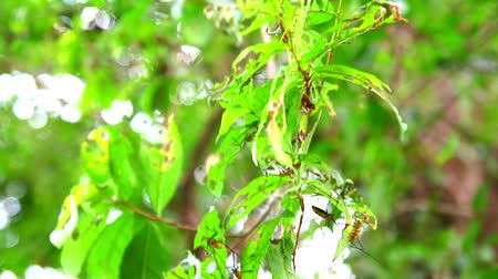 boynuzları : Long Horned Borer Beetle is eating leaves to breeding during rainy season Stok Video