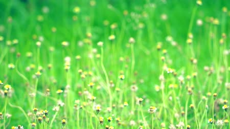 compositae : tridax procumbens yellow white flower blooming at garden in summer Stock Footage
