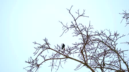 starling : two Common Myna are bent on dry trees