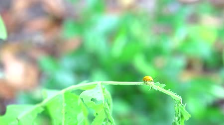 невинный : yellow ladybug eat young green leaves is problem of insect Стоковые видеозаписи