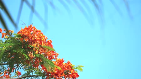barbados : Red Caesalpinia pulcherrima flowers are blooming blur palm leaves