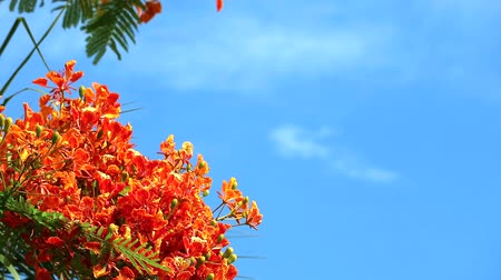 tavuskuşu : Red Caesalpinia pulcherrima flowers are blooming green leaves moving in blue sky