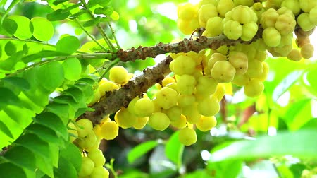 egres : star gooseberry, vegetable, garden, fruit, useful Can use both leaf and root treatment