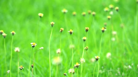 compositae : grass flower swing by wind and green leaves background in summer