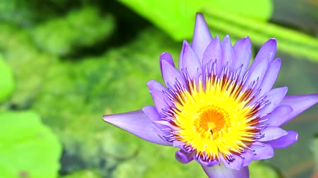 lilyum : purple lotus flower blooming on pond green pad background