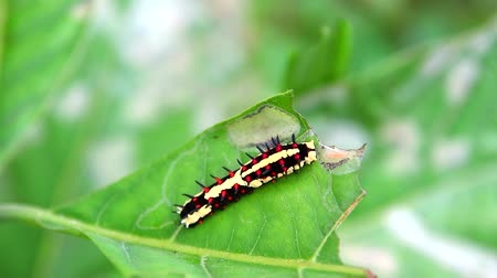 féreg : worm are eating leaves to accumulate energy during the body of a butterfly
