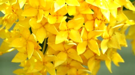 yasemin : Yellow spike flowers are blooming in the garden with rain water on the petals slow motion Stok Video