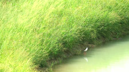 alado : Black-winged Stilt bird stand on water and singing and two baby walking in pond