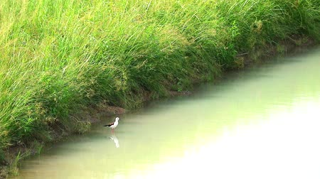 echasse : Black-winged Stilt bird stand on water and singing in pond