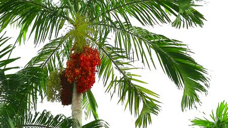 areca : colorful palm seeds on palm tree in garden and green leaves moving