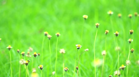 compositae : grass flower swing by wind and green leaves background