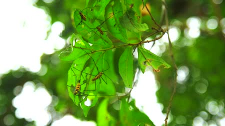 dut : Long Horned Borer Beetle is eating leaves to breeding during the rainy season Stok Video