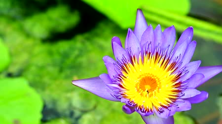 leknín : lotus has purple color of petals blooming in pond Dostupné videozáznamy