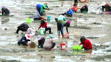 krewetki : people dig to find shellfish and crab when low ebb tide