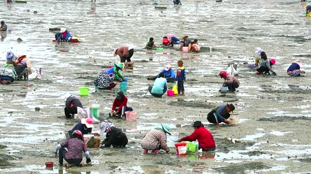 korýš : people dig to find shellfish shell and crab when low ebb tide1