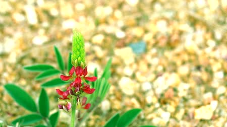 lupine : wild red flower lupine stone mountain2 Stock Footage