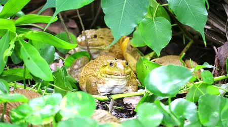 tree frog : Frogs live away from the sun in shade of trees and are active at night Stock Footage