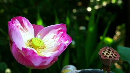 leknín : pink lotus flower blooming in garden and dry branch lotus1