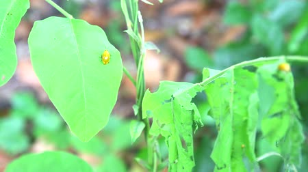 sentiment : yellow ladybug eat young green leaves is problem of insect1