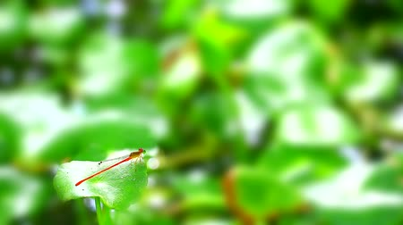 libélula : Damselfly sticks on the dry branches and cleaning eye and blur background