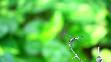 fragilidade : Dragonfly sticks on the dry branches in the swamp Stock Footage