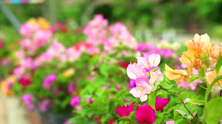 magenta flowers : Bougainvillea light pink colors are blooming in the garden in summer